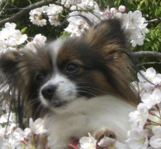 桜の中のありす