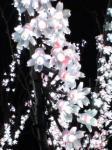 願いの森の桜(USJ)