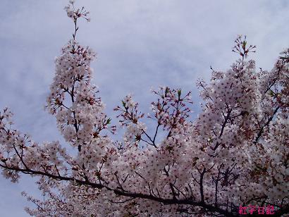 天を仰ぐ桜