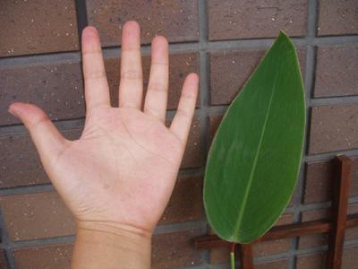 タリアの葉