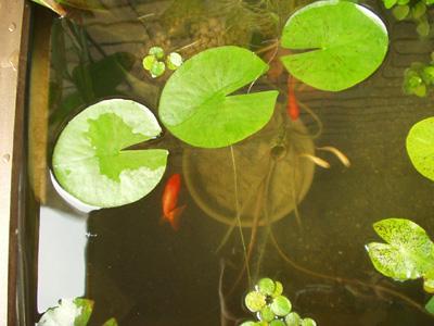 ベランダビオトープ 金魚