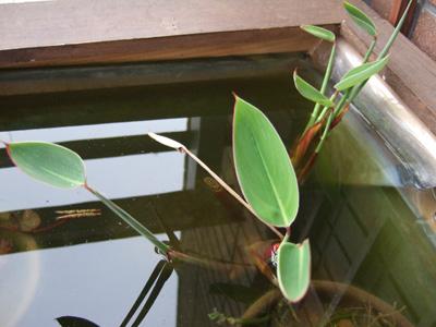 写真:ベランダビオトープ タリア 水生植物