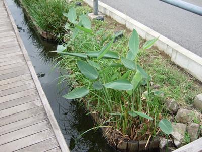 写真:野外ビオトープ 武蔵新城