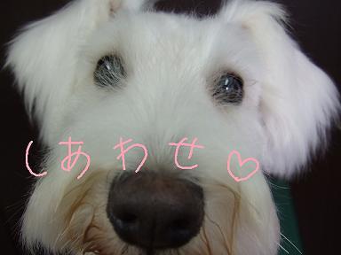 2008.09.19  シュナ メリーちゃん②