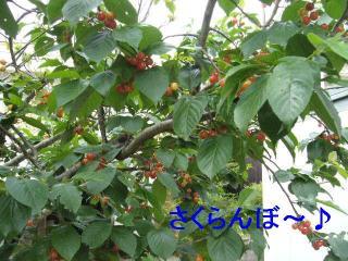 sakuranbo_20060514_1