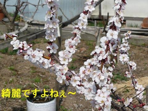 hana_20080316_1
