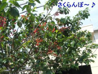 sakura_20070512_11