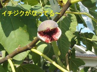 ichijiku_20071118_1