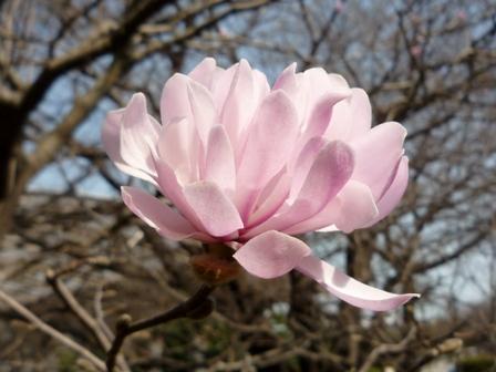 ピンクのマグノリア類