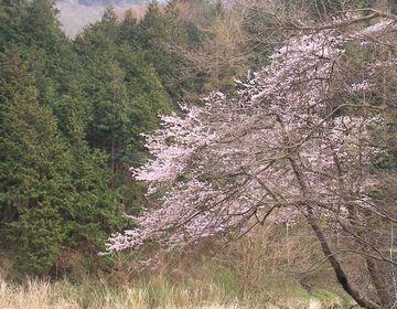 09年04月13日 山サクラ