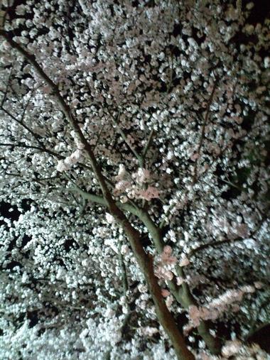 (夜桜)220409-6
