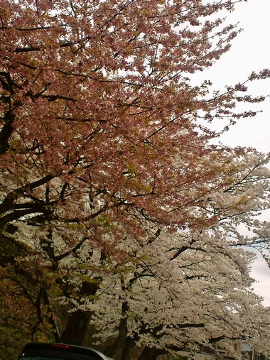 (桜)220410-1