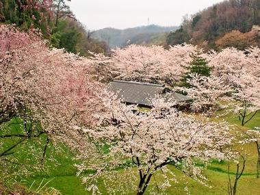 (卯辰山桜)220410-4