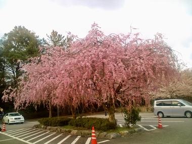 (卯辰山)しだれ桜