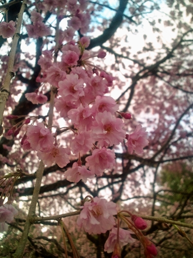 (卯辰山)しだれ桜2