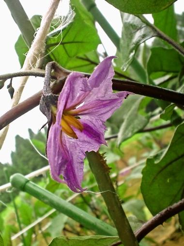 なすびの花