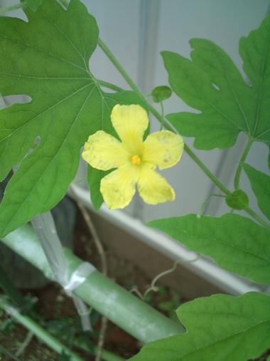 ゴーヤの花