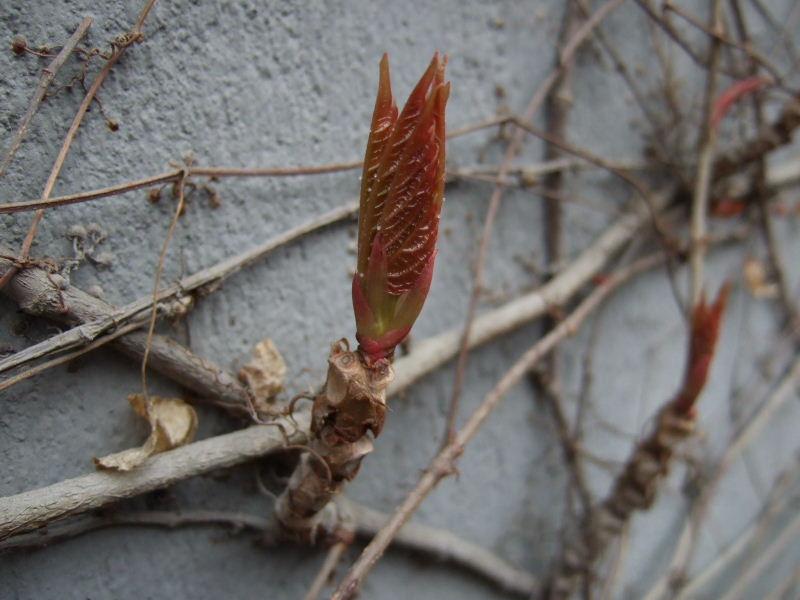雍和別荘蔦の芽