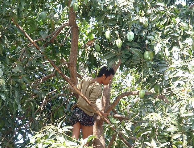 マンゴー採り