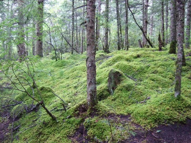 黄龍登り道コケの林