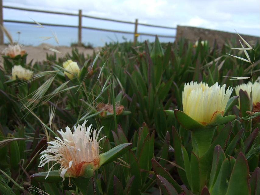 073Roca岬の花