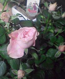 謎の薔薇v。