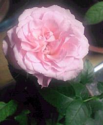 謎のミニ薔薇さんv。