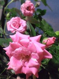 ディーヴァの薔薇v。