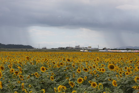 himawari_0821_1.jpg