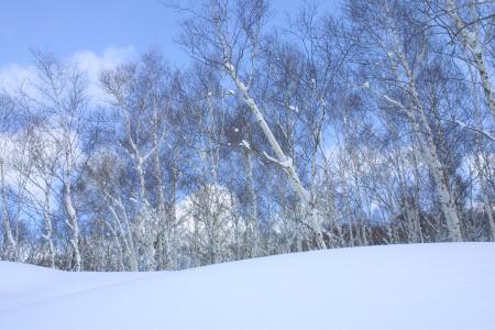 白樺の木々