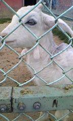 ハイジ牧場 羊