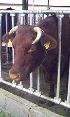 ハイジ牧場 牛