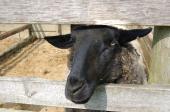 ちょっとリアルな羊様。