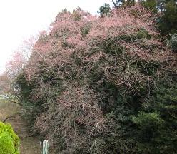 20100413桜