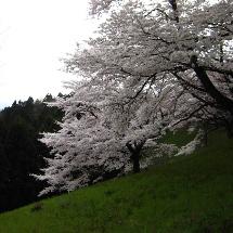 2010桜2