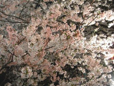 夜桜!2009.4.7