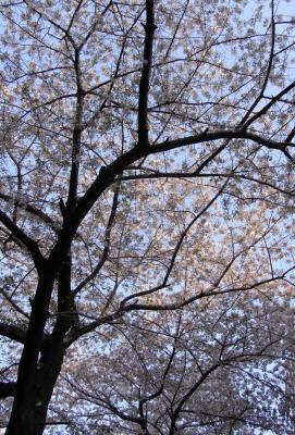 青空とさくら 日向ぼっこ 2009.4.9