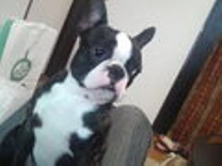 bostonterrier jirokun