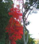 島の紅葉2