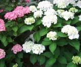 白とピンクの紫陽花