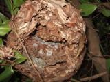 スズメバチの巣の中