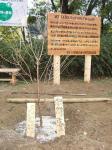イベント記念看板前のヒマラヤ桜