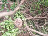 スズメバチの巣がある樹
