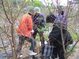 ヒマラヤ桜苗の掘出し