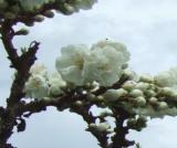 八重の桃の花