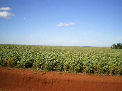 イグアス市の枝豆畑