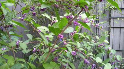 庭の紫式部