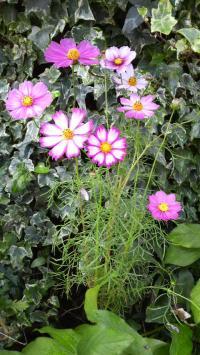 庭のコスモス3