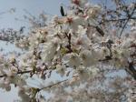 さくら・桜