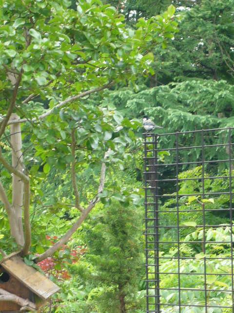 安曇野20.6.さるすべりの小鳥